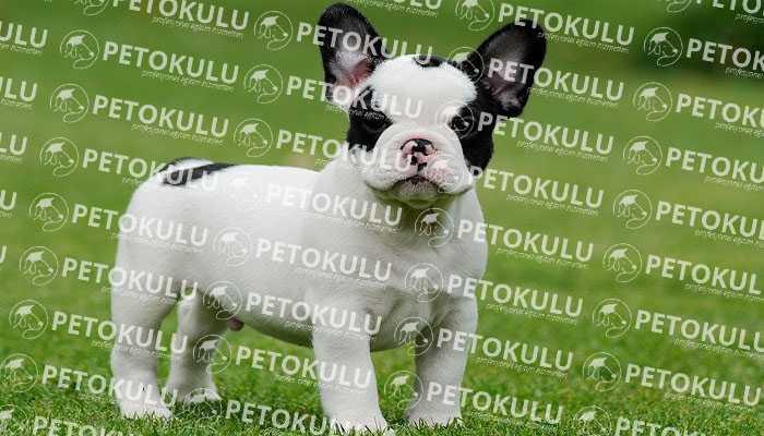 Fransız (French) Bulldog Tüy Yapısı