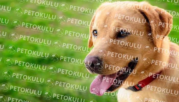 Labrador Retriever Bakımı