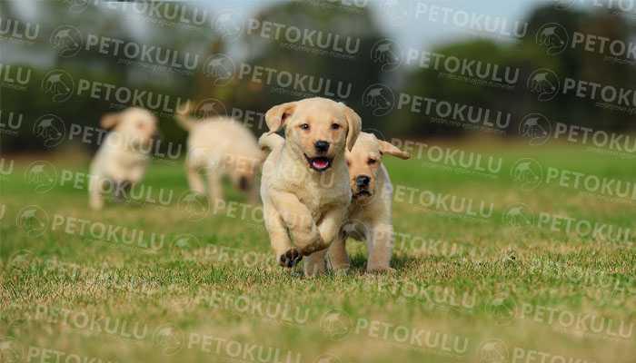 Labrador Retriever Eğitimi