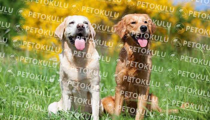 Labrador Retriever Egzersiz İhtiyacı