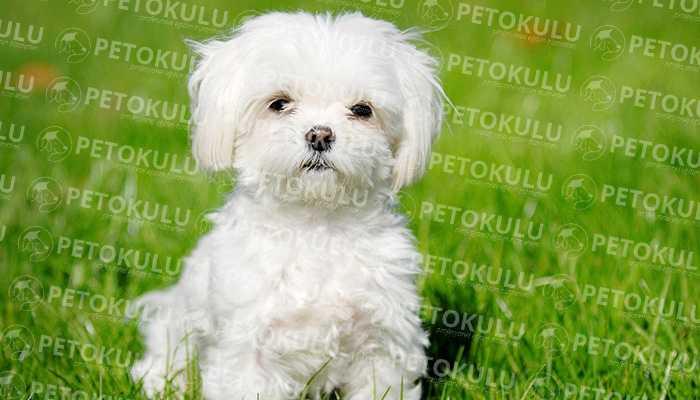 Terrier Maltese Cinsinin Dünya Standartlarına Göre Boyutları