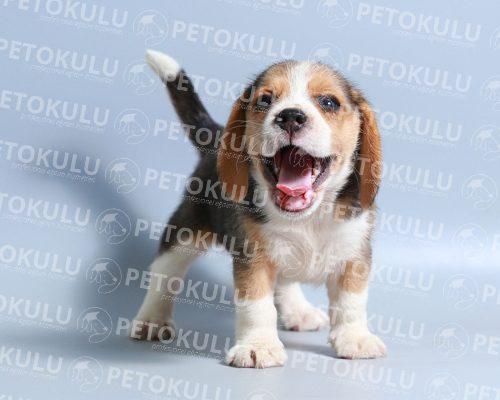 Sahiplenmeden Önce Köpek Irklarını Tanıyın