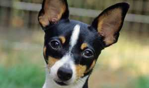 Toy Fox Terrier istanbul