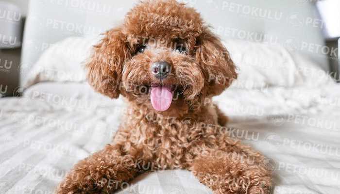 Merak Edilen Köpek! Toy Poodle Irkı ve Eğitimi Hakkında Bilgiler