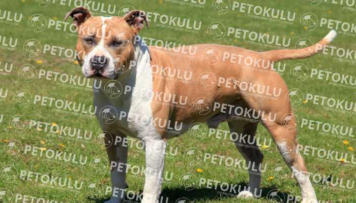 American Staffordshire Terrier Yaşam Alanları