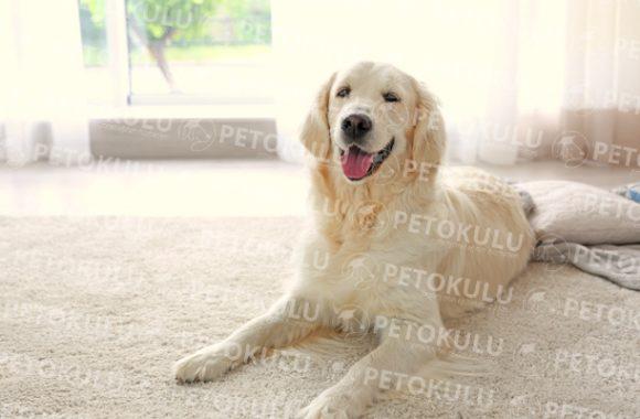 Evde Beslemek İçin En Uygun Köpek Türleri
