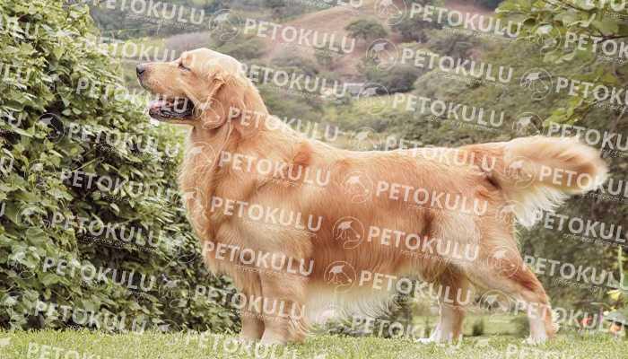 Golden Retreiever Köpeği Hakkında Bilgiler