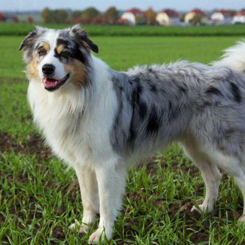 Australian Shepherd Dog Eğitimi