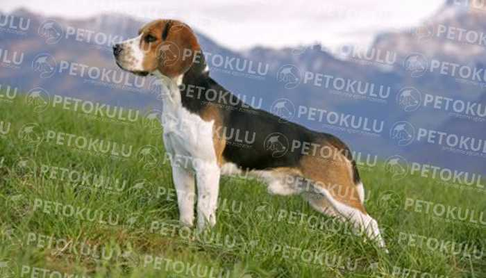 İyi Bir Av Köpeği; Beagle Eğitimi ve Özellikleri