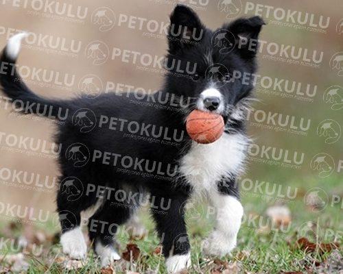En Zeki Köpeklerden! Border Collie Eğitimi ve Özellikleri