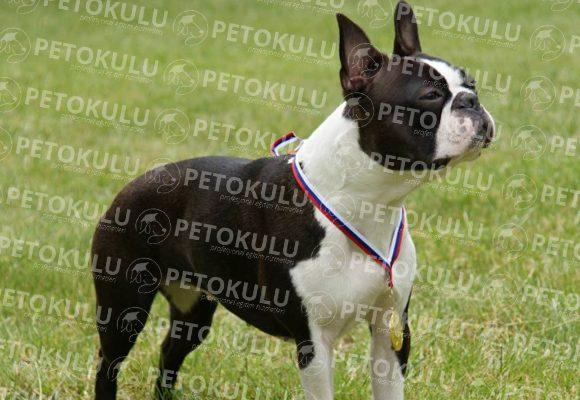 Boston Terrier Özellikleri ve Eğitimi