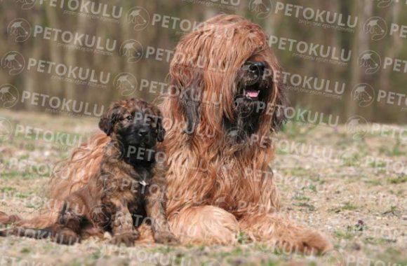 İyi Bir Aile Köpeği! BriardEğitimi ve Özellikleri