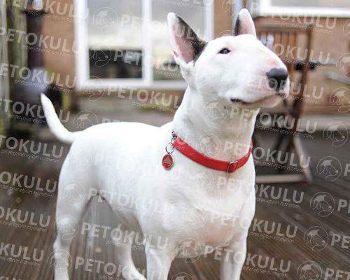 Bull Terrier Eğitimi ve Özellikleri
