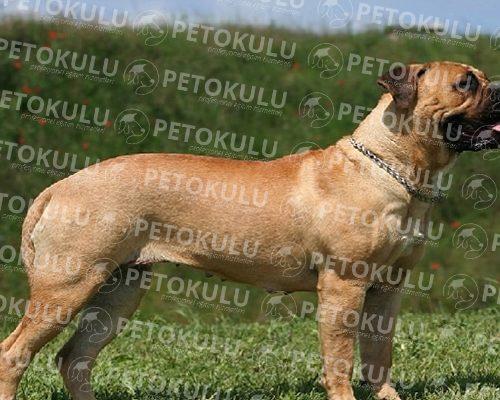 İyi bir bekçi köpeği! Bullmastiff Irkı Özellikleri ve Eğitimi