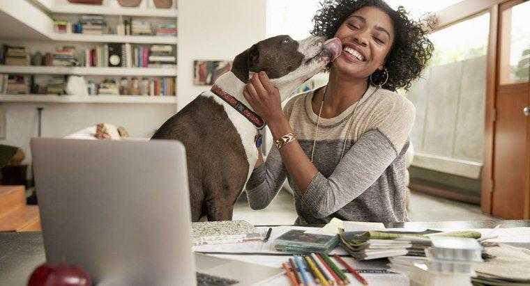 Köpekler Neden Yüzümüzü Yalar