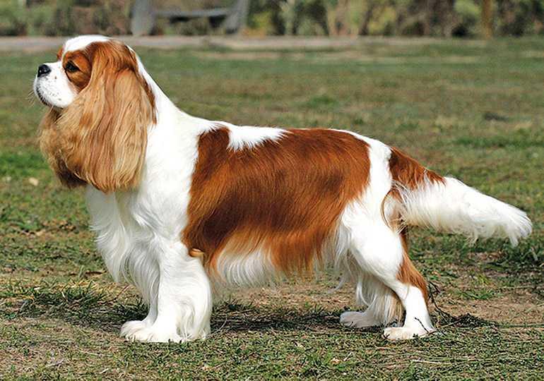King Charles Irkı Köpekler Eğitimi ve Özellikleri