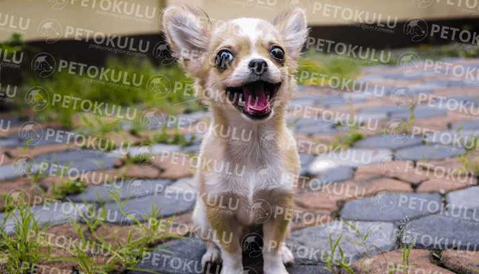 Ev Yaşamı İçin En Uygun Irk! Chihuahua Eğitimi ve Özellikleri
