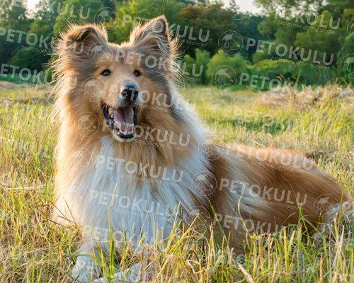 Çok Zeki Bir Köpek! Collie Köpeği Eğitimi ve Özellileri