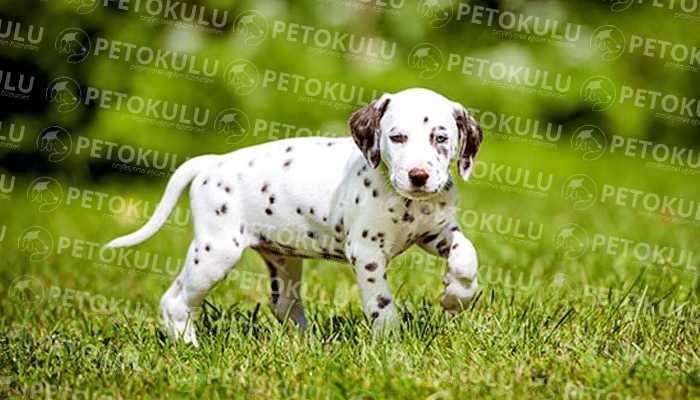 dalmaçyalı köpek ırkı