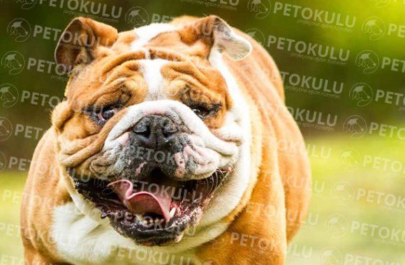İngiliz Bulldog Eğitimi ve Özellikleri