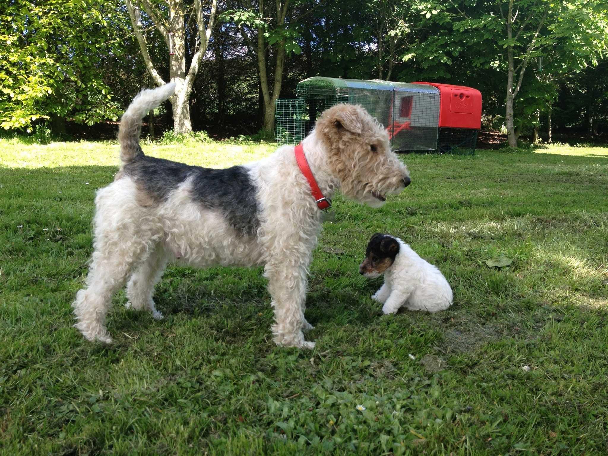Fox Terrier Irkı Eğitimi ve Özellikleri