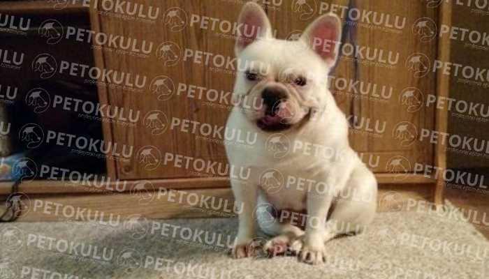 Fransız (French) Bulldog Eğitimi