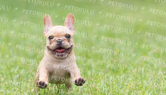 En Uyumlu Köpek! Fransız Bulldog Eğitimi ve Özellikleri