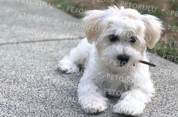 Ev İçin İdeal Bir Köpek! Havaton Eğitimi ve Özellikleri