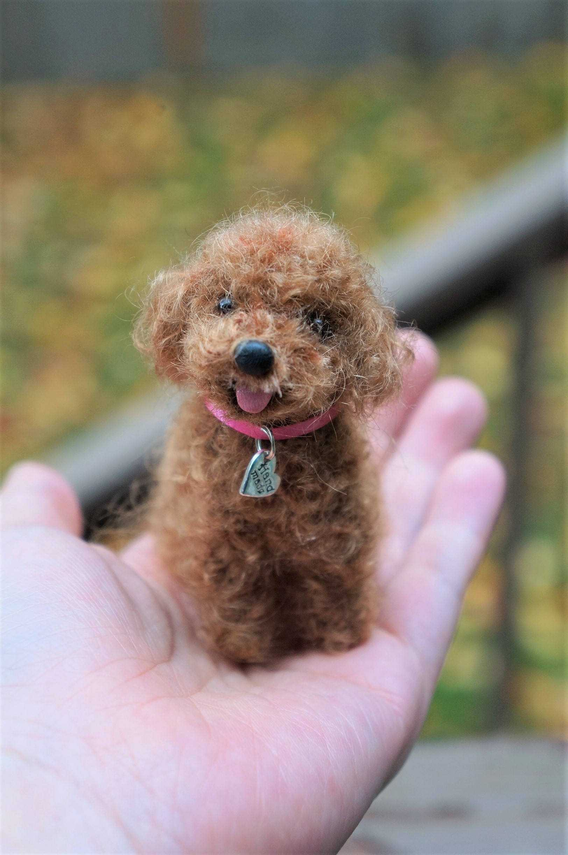 Toy Poodle Yaşam Alanı