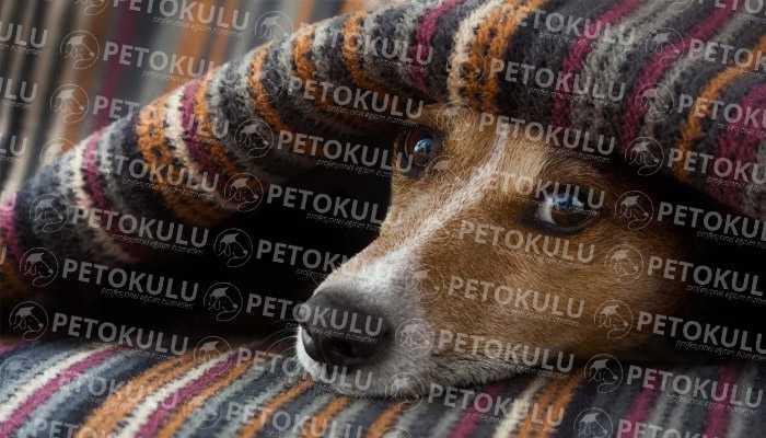 Köpeklerde Titremenin Sebepleri
