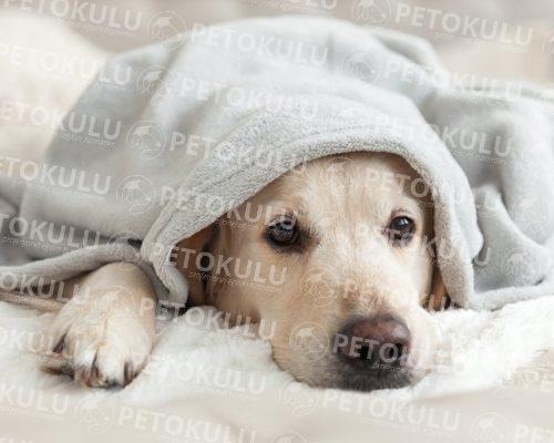 Köpeklerde En Sık Görülen 15 Hastalık