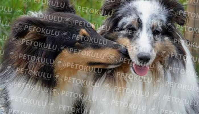 Köpeklerde ergenlik dönemi