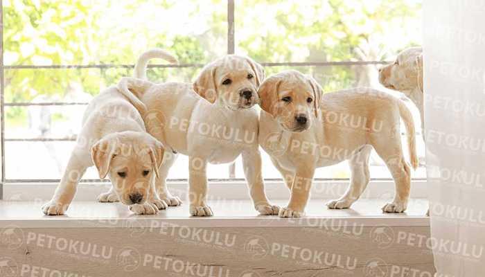 Labrador Retriever Eğitimi ve Özellikleri