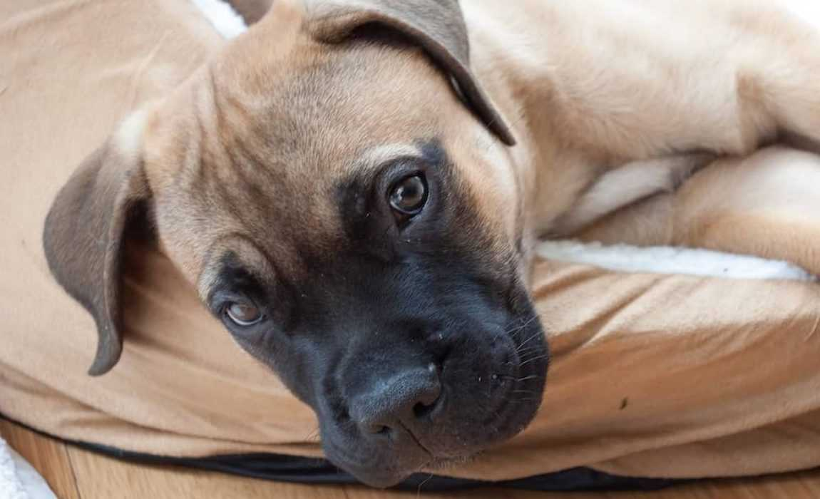 Dev Bir Köpek! Mastiff Eğitimi ve Özellikleri