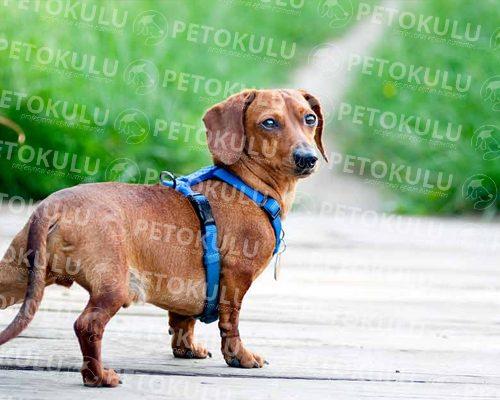 Dachshund Irkı Köpek Eğitimi ve Özellikeri