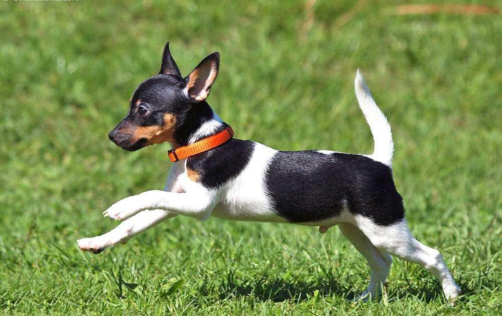 Toy Fox Terrier temel itaat