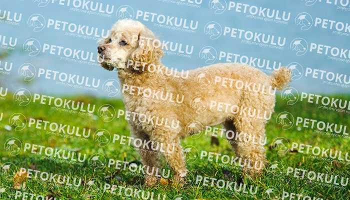 toy poodle eğitimi istanbul