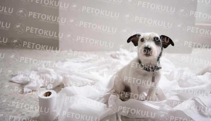 Köpeklerde Tuvalet Eğitimi
