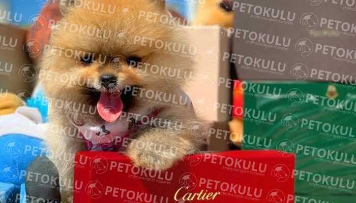 Pomeranian Boo Bakımı