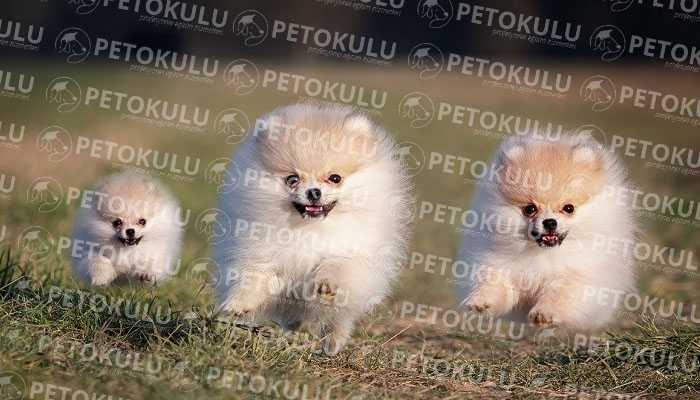 Pomeranian Boo Eğitimi