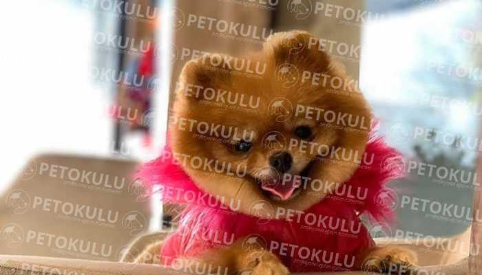 Pomeranian Boo Egzersiz İhtiyacı
