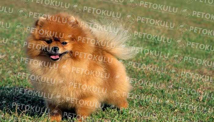 Pomeranian Boo Fiziksel Özellikleri