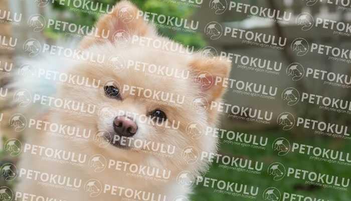 Pomeranian Boo Irkından Köpeklerin Olumlu ve Olumsuz Yönleri