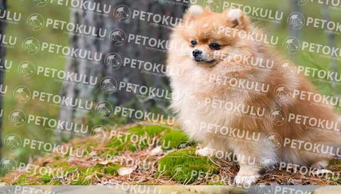 Pomeranian Boo Isırır Mı?