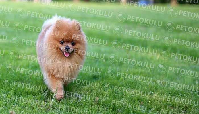 Pomeranian Boo Karakter Yapısı