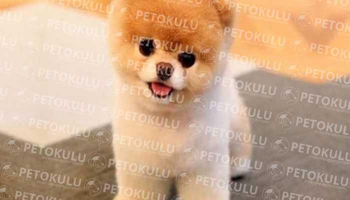 Pomeranian Boo Tüy Yapısı
