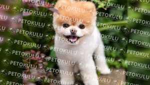 Pomeranian Boo Yaşam Ortamı