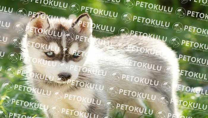 Sibirya kurtlarının Fiziksel Özellikleri