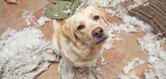 Köpeklerde Kemirme Davranışı