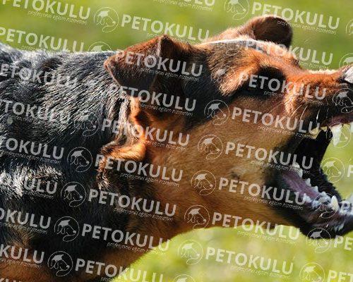 Köpeklerde Davranış Bozuklukları Sorunu